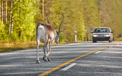 Deer Hits and How To Avoid Them